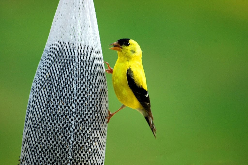 A golden finch on a mesh feeder