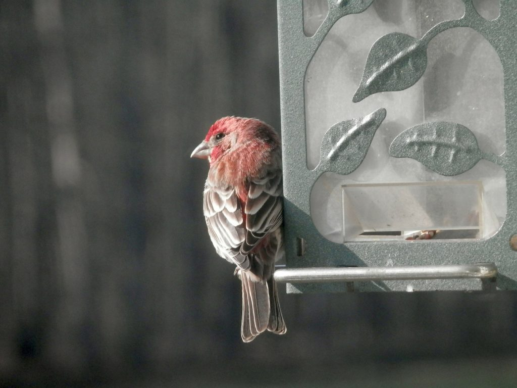 A house finch perched on a feeder