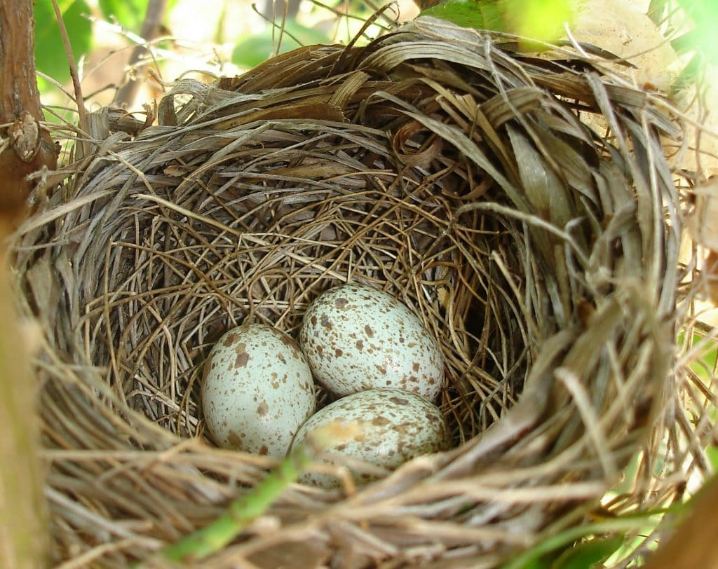Northern Cardinal eggs in a nest