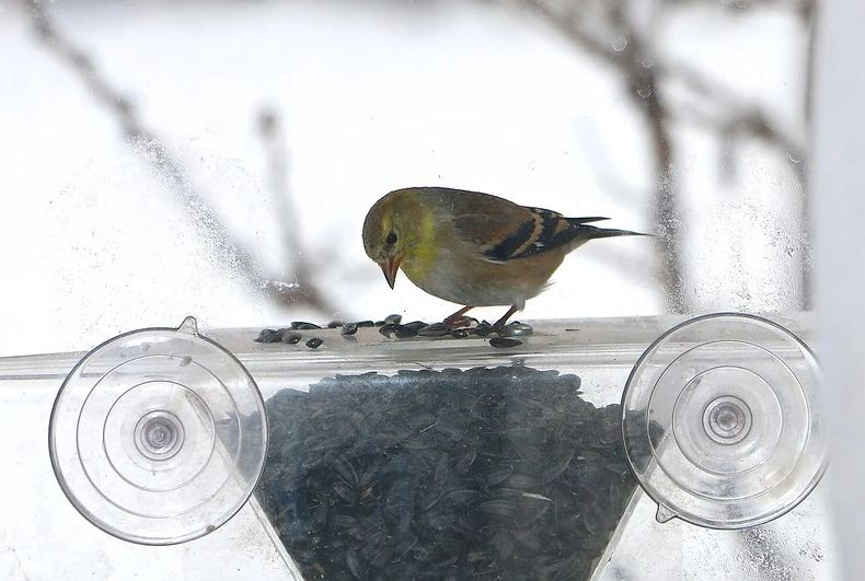 bird on a suction feeder