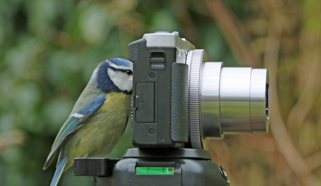 a bluebird looking through camera