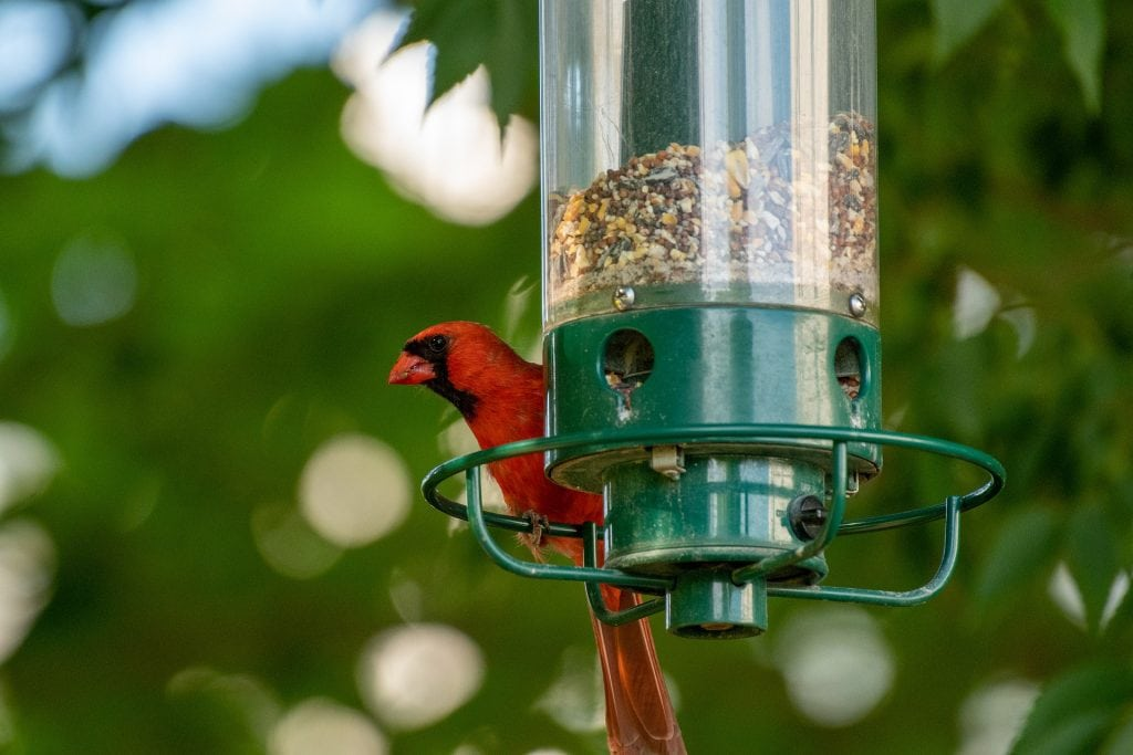 cardinal feeder - featured image