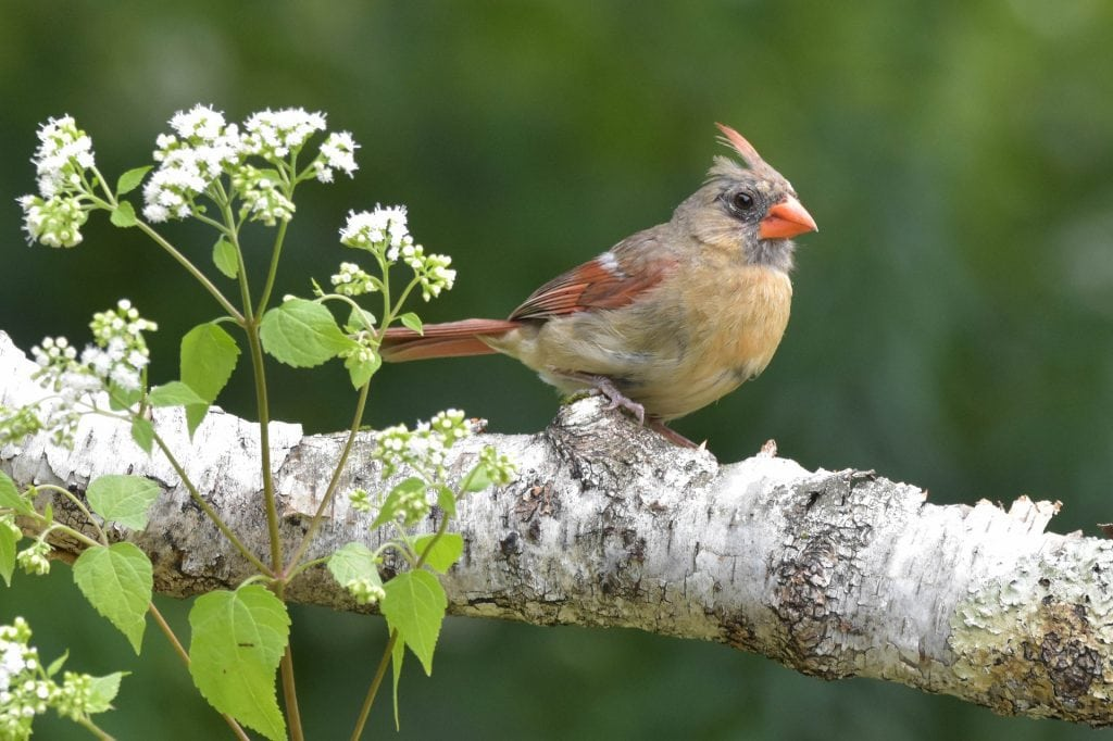 female cardinal perched on a branch
