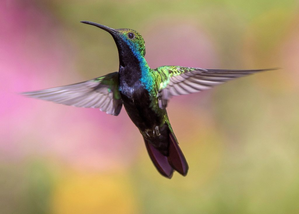 hummingbird on a flight