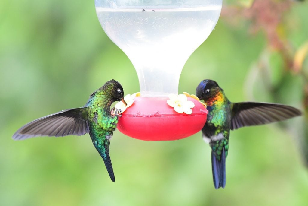 hummingbirds on a feeder