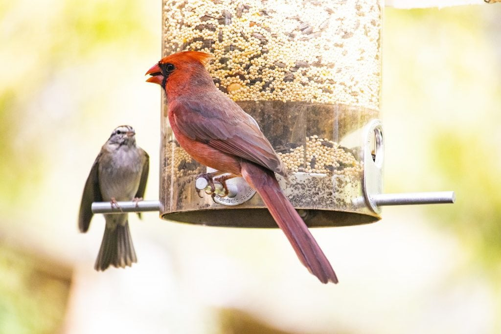 male cardinal perched on a feeder