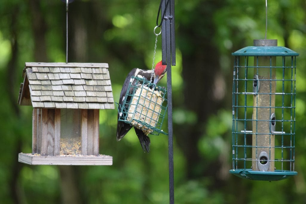 pileated woodpecker on a feeder