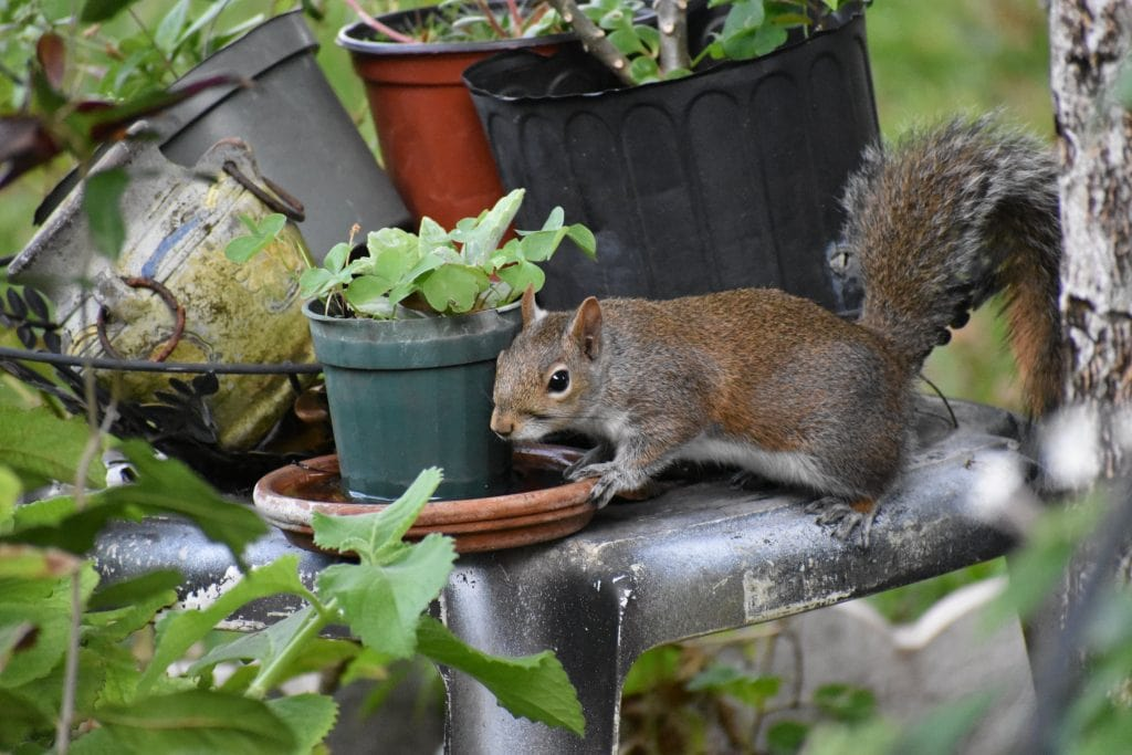squirrel on planters