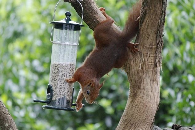 squirrel stealing from hanging feeder