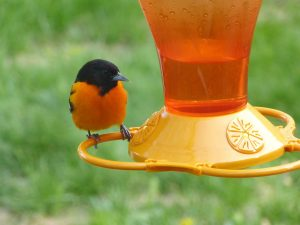 Baltimore Oriole perched on a feeder featured image