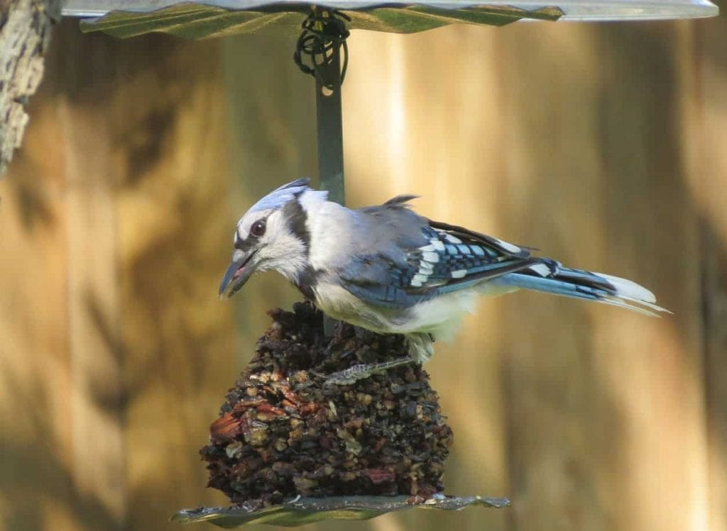Blue Jay on a feeder featured image