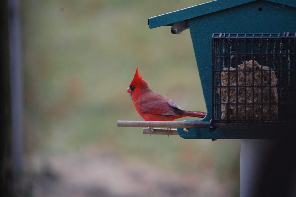 a male cardinal perched on a suet feeder