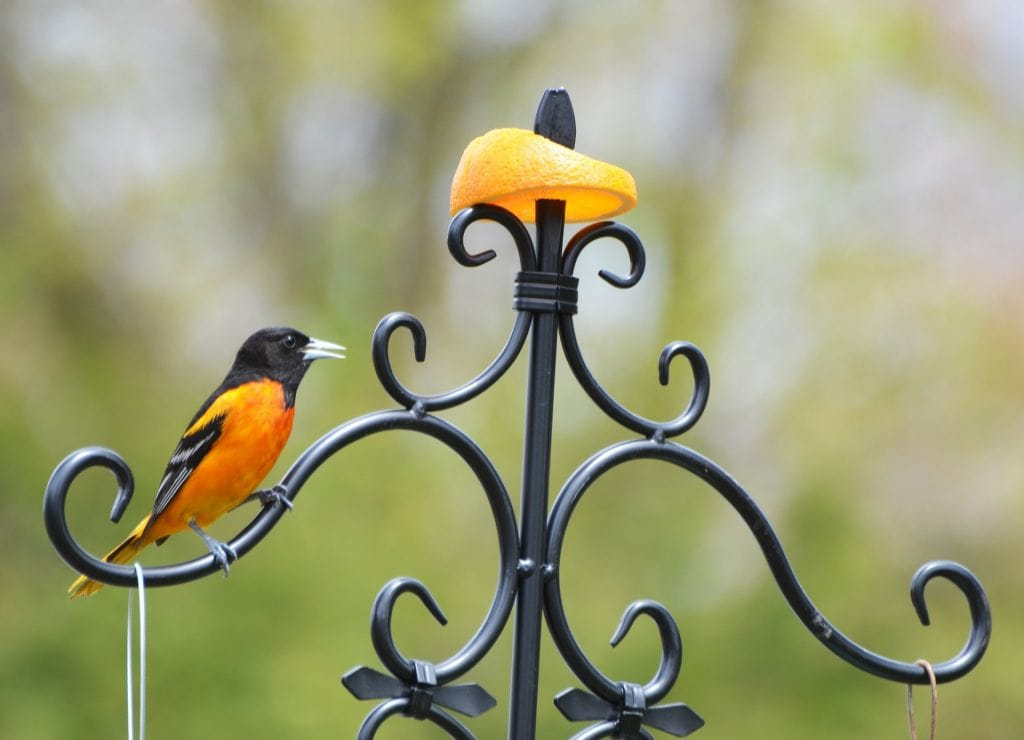 oriole perched on french grill looking at a skewered orange slice