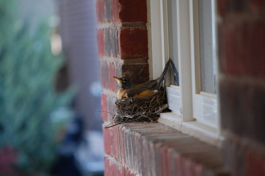 robins nesting by the window